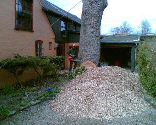 Træfældning; kæmpe træ på vanskeligt sted