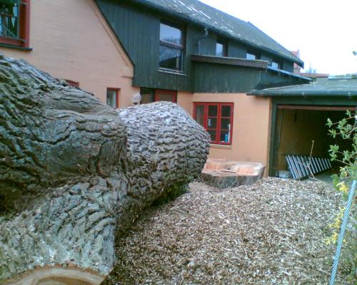 Træfældning; her er træet lagt ned.