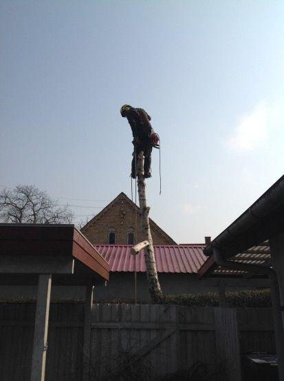 topkapning - Fældning af birk med forsikring