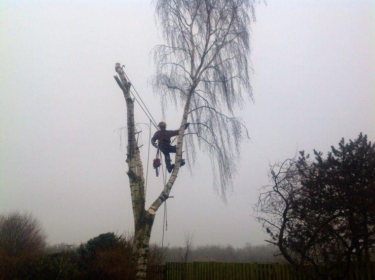 birketræ og skovhugger m motorsav