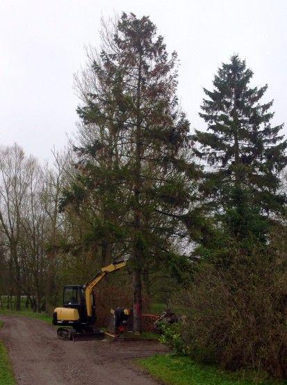 fældning grantræer