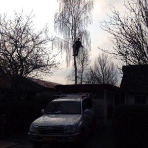 Topkapning af birk mellem to huse