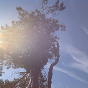 fældning af fyrre træ på Møn