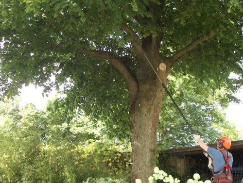 Beskæring af træer, også frugtræer