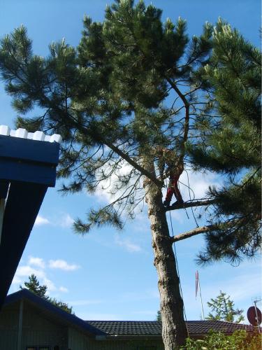 Fældning af træ der står for tæt på bygning og hælder forkert