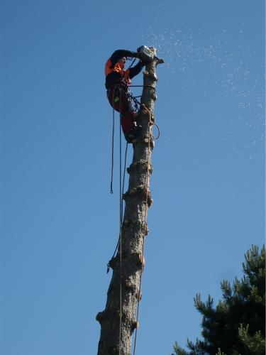 Alle grene er skåret ned, og vi begynder at fjerne stammen, et stykke af gangen