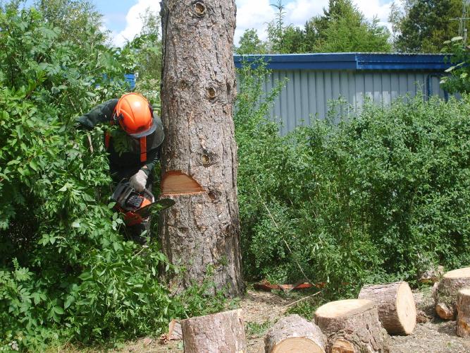 Træfældning; Der undersaves for at styre retningen