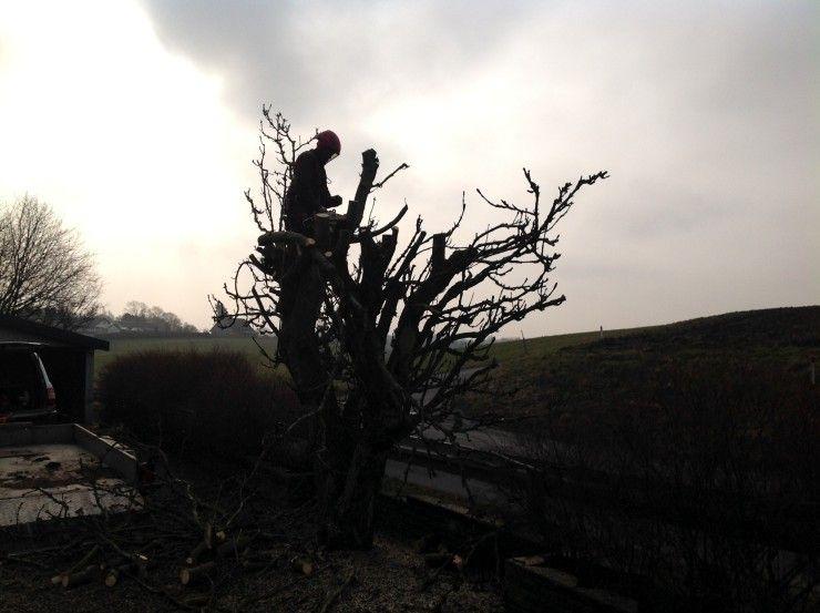 Beskæring af træ
