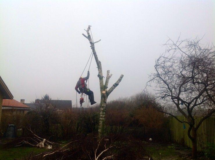 Topkapning birketræ
