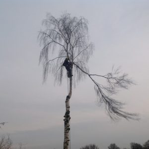 vi fælder birke træet ovenfra