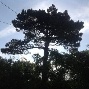 Fældning af stort fyrretræ